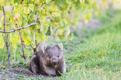 Wombat in Bangor Vineyard Tasmania