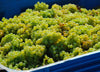 Bangor Vineyard Tasmania - Chardonnay grapes