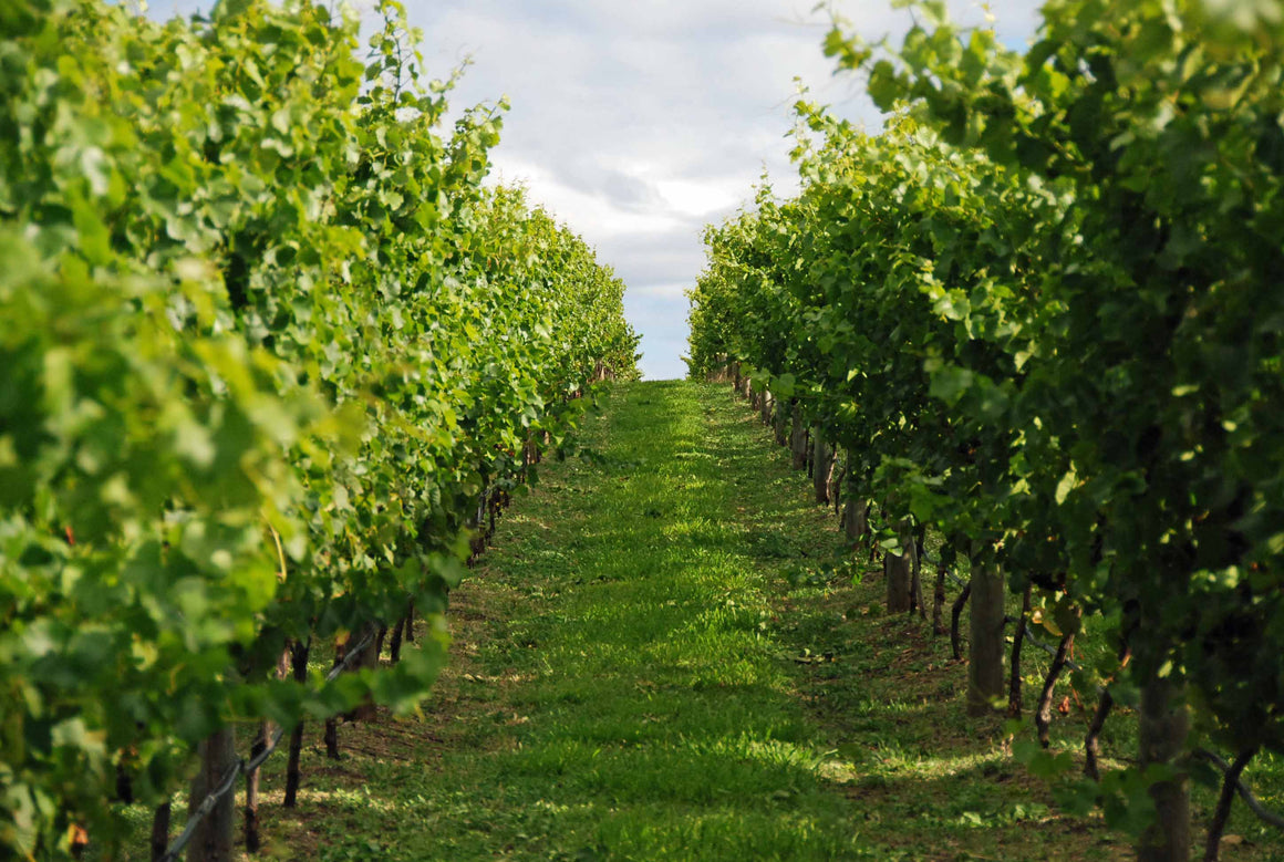 Wine Tasting in the Vines - Bangor Vineyard Tour