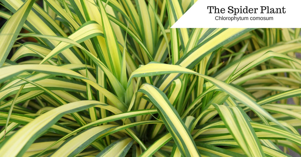 #2 The Spider Plant