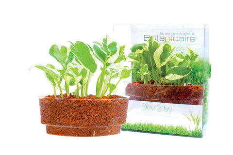 Money Plant Sushi - In Vitro / Botanicaire