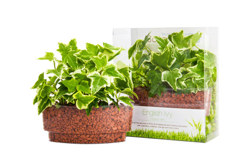English Ivy Plant Sushi - In Vitro / Botanicaire