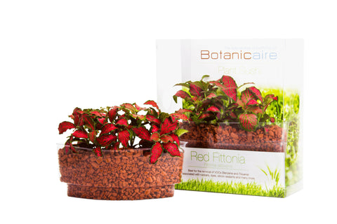 Red Fittonia Plant Sushi - In Vitro / Botanicaire