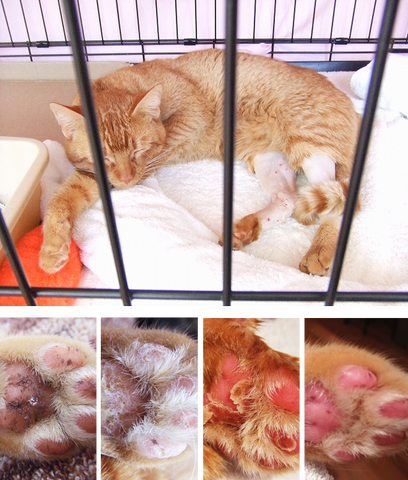 the CAT TONGUE, MY PET DESIGNS, about us, story of ten cats and owner, Simba, injured, cage life, callous disappear