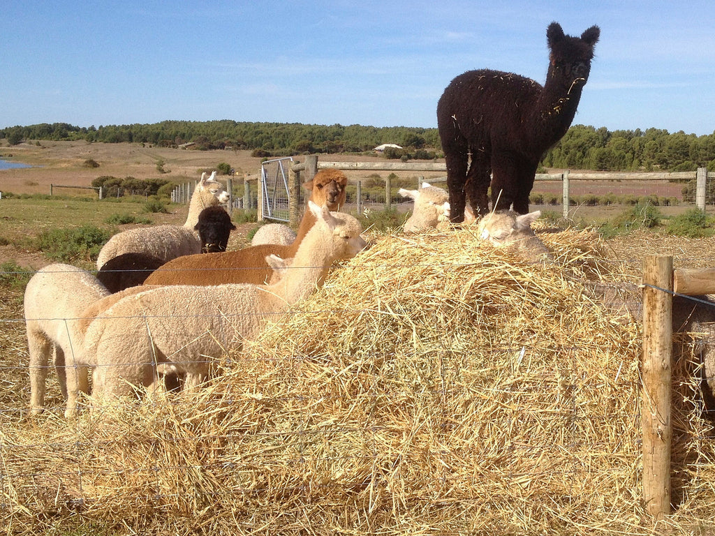 Why Alpaca Fleece Outsells Cashmere
