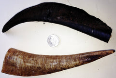 GOAT HORNS - HUGE 200-250mm. One of the longest lasting chews there is