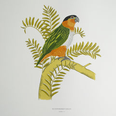 Black Headed Parrot, Fanny Shorter