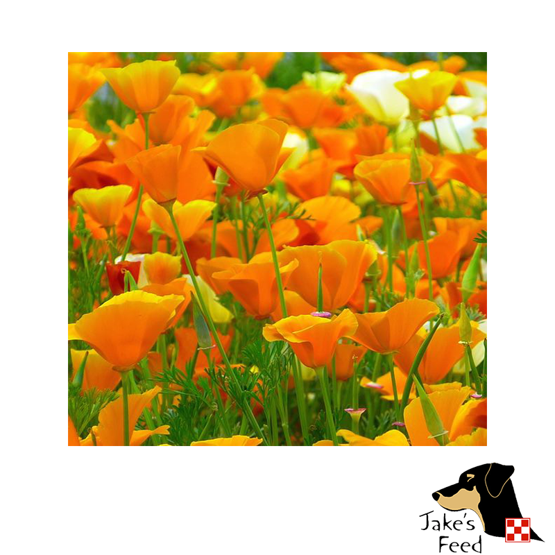California Poppy Flower Seeds 350 Mg Jakes Feed And Animal Center