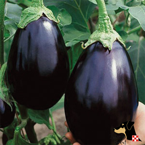 Black Beauty Eggplant 1oz