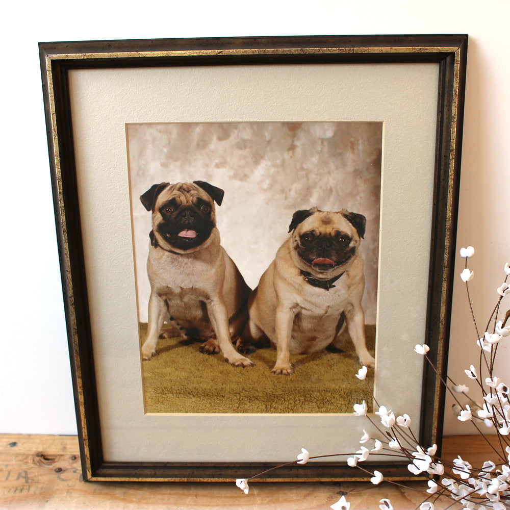 Pair of pugs beauty shot - vintage 1970s studio portrait photograph - NextStage Vintage