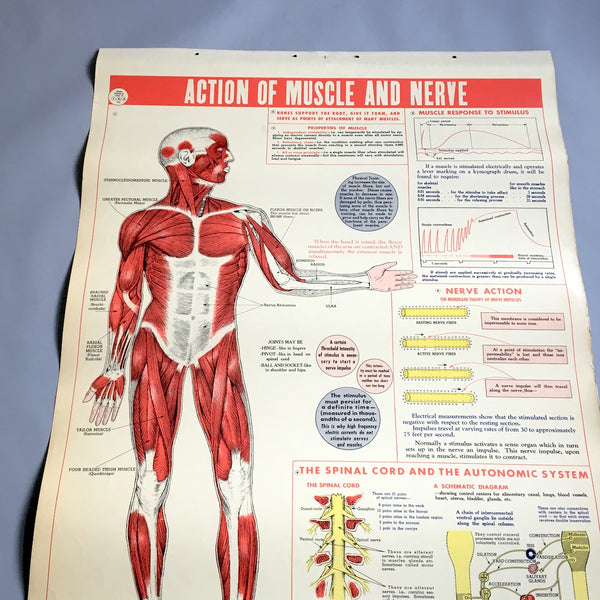 Action of Muscle and Nerve school health wall chart - W. M. Welch Manufacturing Company - 1946 vintage - NextStage Vintage