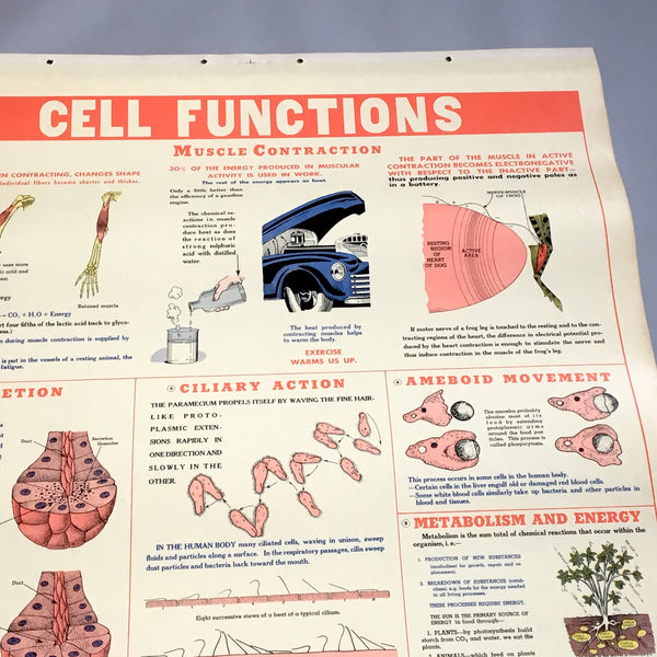 Cell Functions school health wall chart - W. M. Welch Manufacturing Company - 1946 vintage - NextStage Vintage