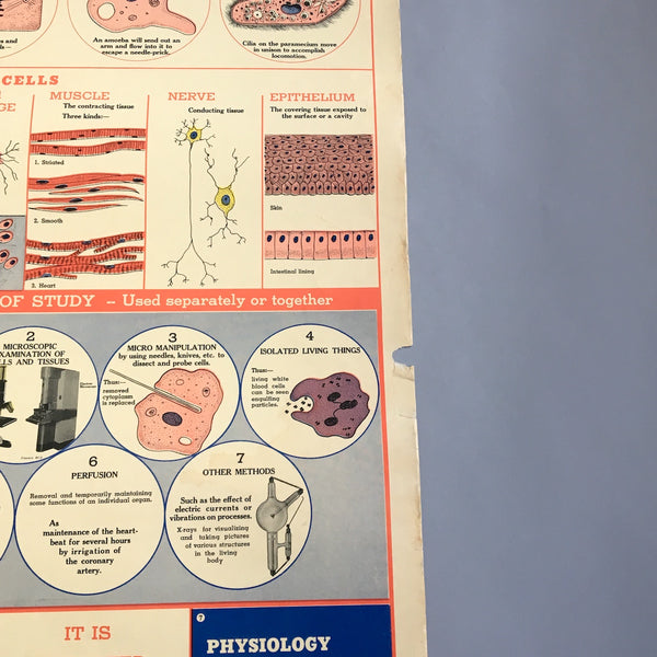 The Cell school health wall chart - W. M. Welch Manufacturing Company - 1946 vintage - NextStage Vintage