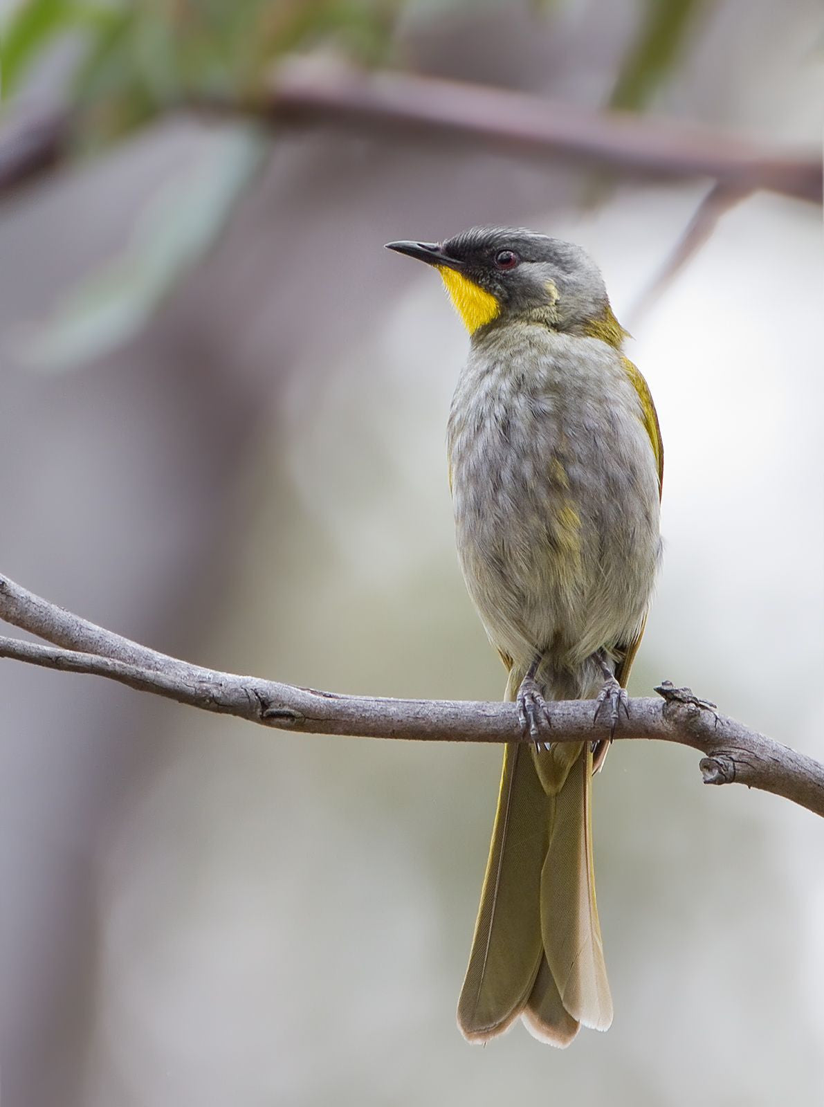 Yellow-Throated Honeyeater - Gallery Salamanca Tasmania