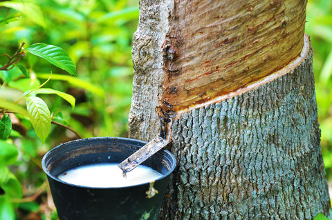 Harvest natural rubber