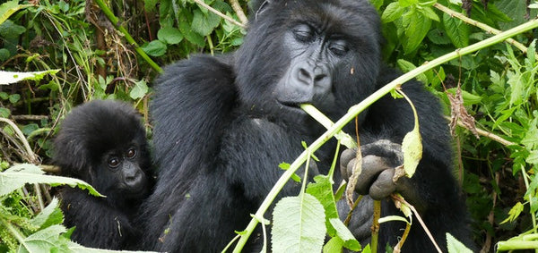 Mom and baby mountain gorilla in Rwanda