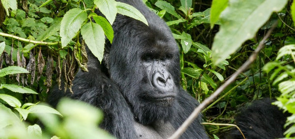 Silver back mountain gorilla in Volcanoes National Park, Rwanda