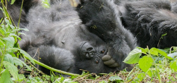 Female gorilla in Volcanoes National Park, Rwanda