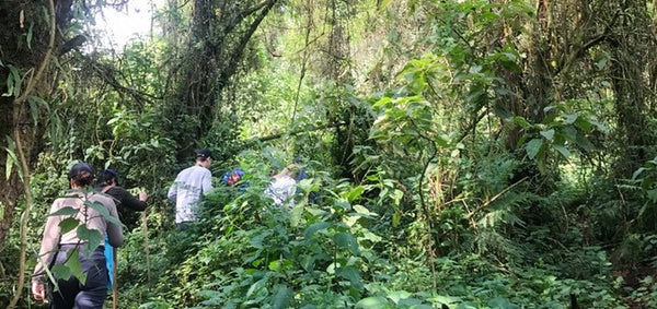 Trek to see the mountain gorillas in Volcanoes National Park, Rwanda