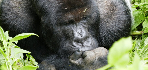 Silverback mountain gorilla in a pensive pose