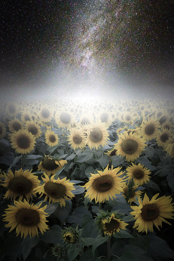 Milky Way galaxy over sunflowers at Colby Farm - Newbury, Massachusetts
