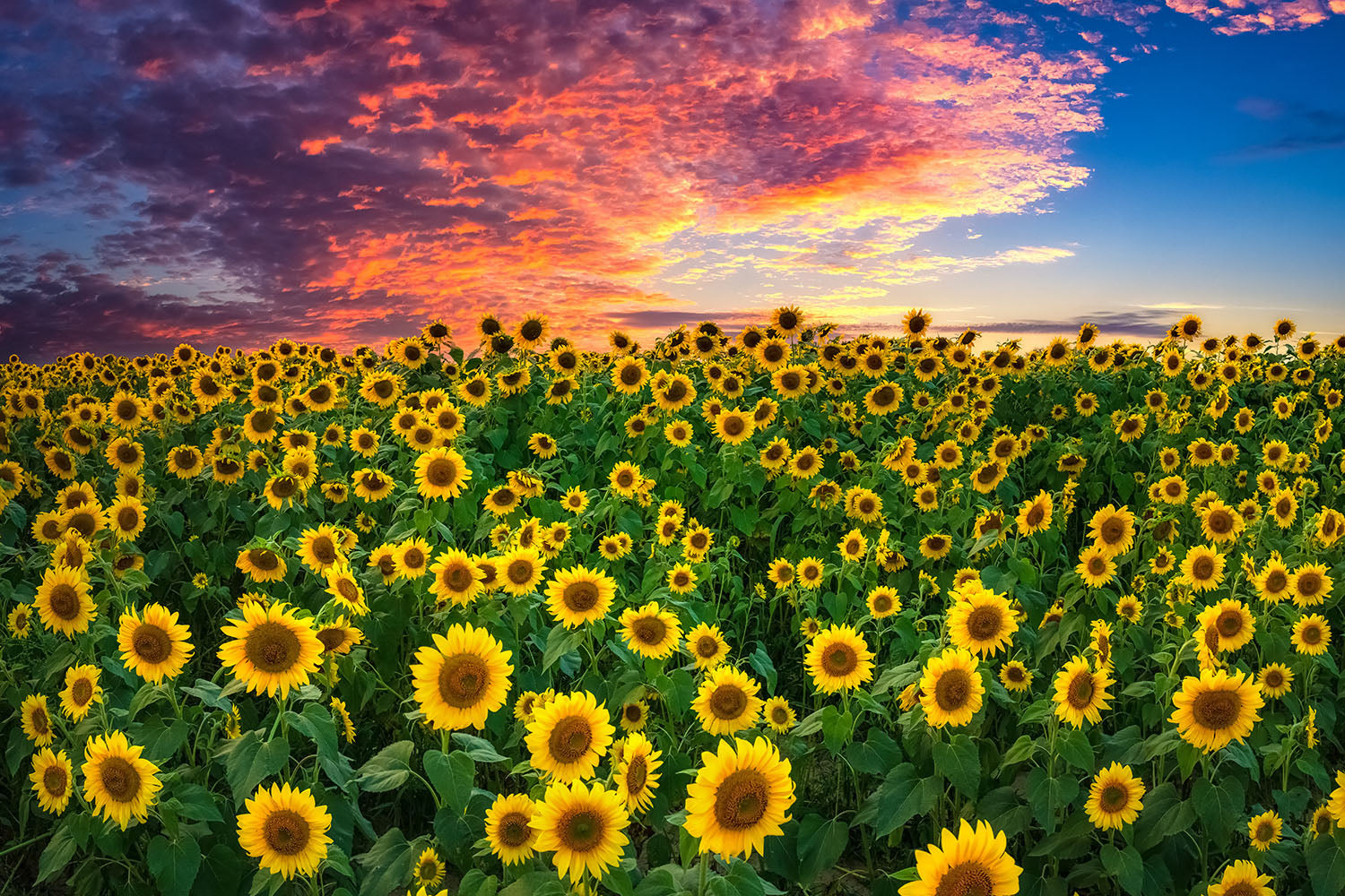 Landscape photo of the Colby Farm sunflowers at sunset - Newbury, Massachusetts