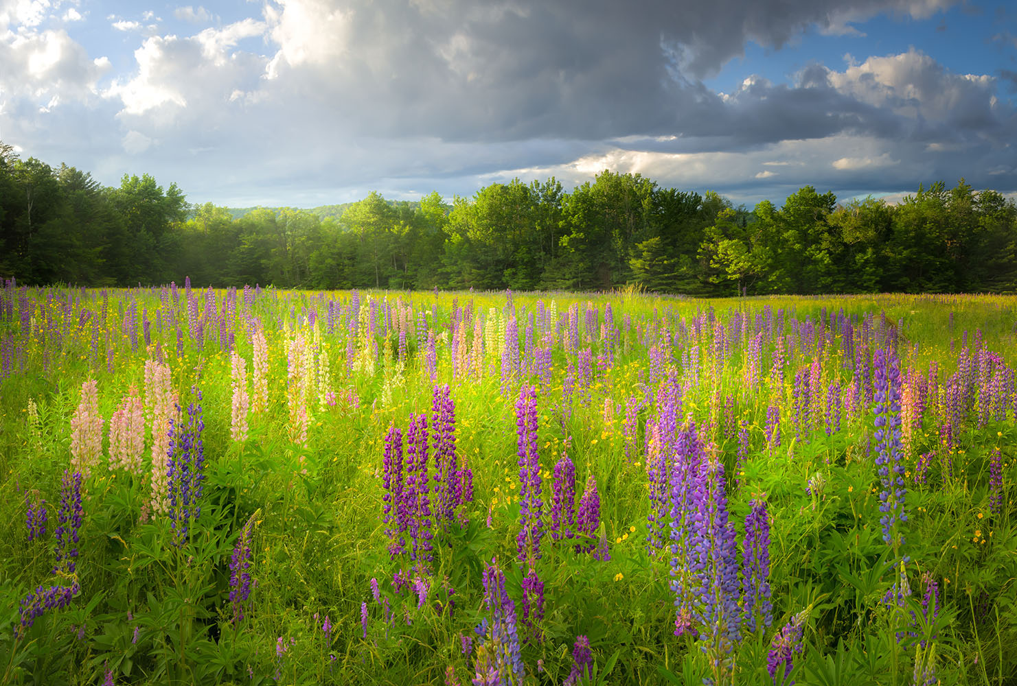 Afternoon light during the Sugar Hill Lupine Festival - White Mountains, New Hampshire