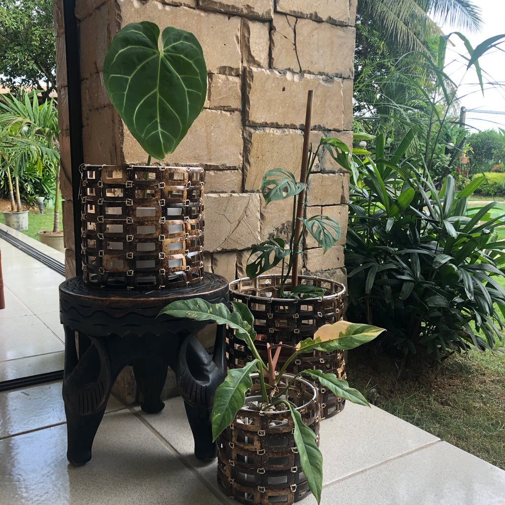Coconut Planter in Large