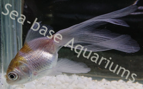 Red Cap Oranda Goldfish – Seabase Aquariums