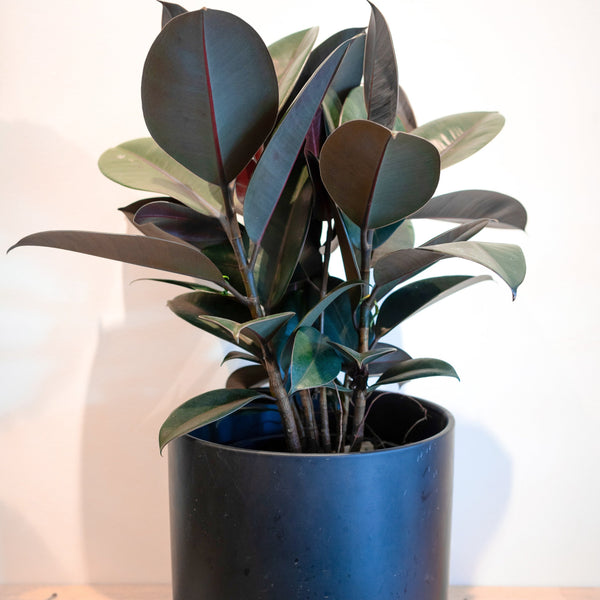 Vogue Indoor Plant
