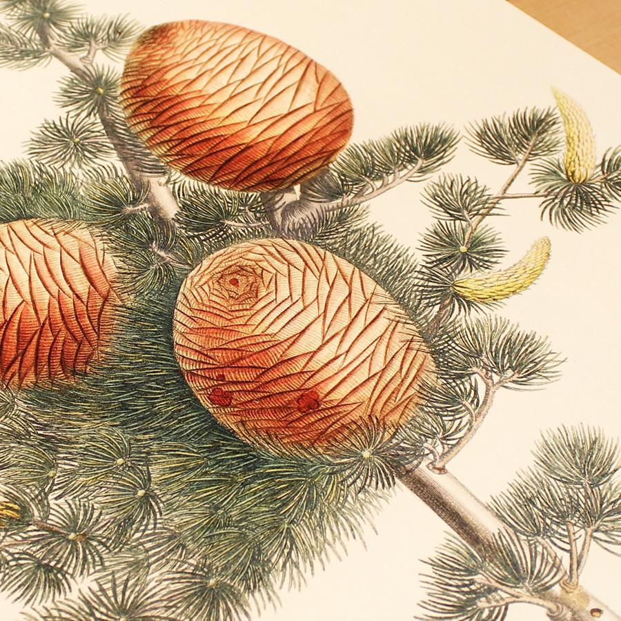 Large Cedrus Botanical Art Print