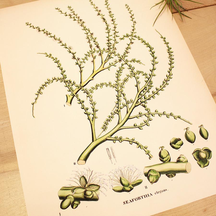 Small Seaforthia Elegans Art Print