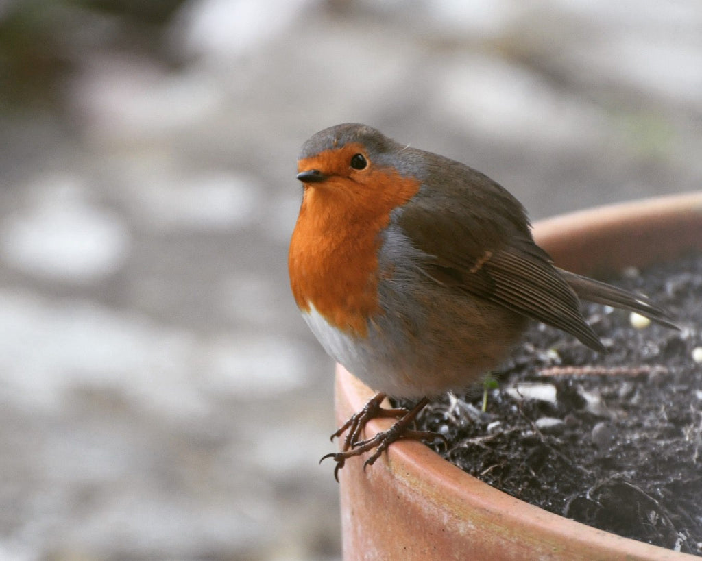 Spring Birdsong: How to Identify Garden Birds from their Song