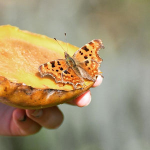 What do Butterflies like to Eat?