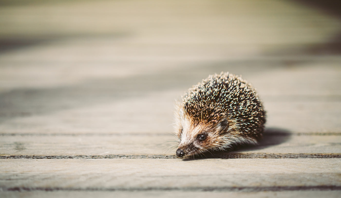 How to Tell if You Have a Hedgehog in Your Garden