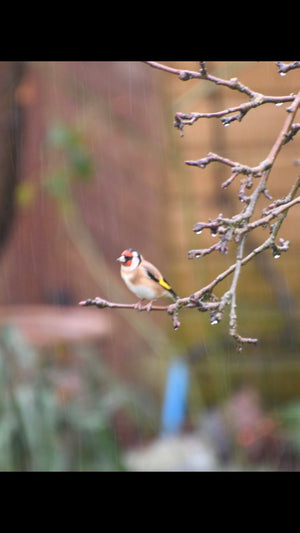 8 Interesting Facts about Goldfinches