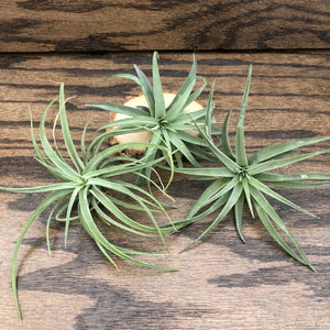 Airplant (Tillandsia Velutina)