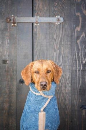 labrador in a blue towel drying coat