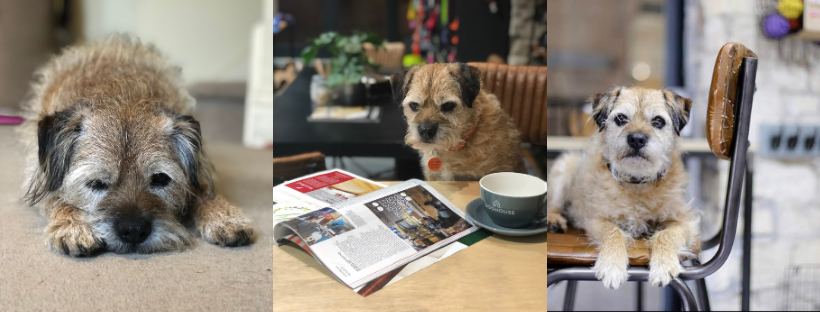 border terrier sparky reading the news