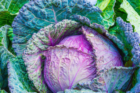A close up image of a beautifully fresh cabbage, the leaves on the outside are deep green with purple veins and look plump and crisp, the inner globe of the cabbage is bright purple with shiny leaves.