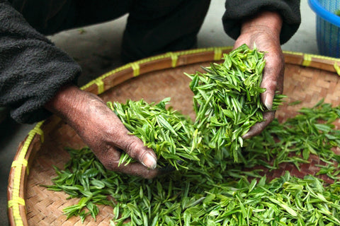 A workers hands over a drum of green tea leaves, the tea leaves are in and under his hands