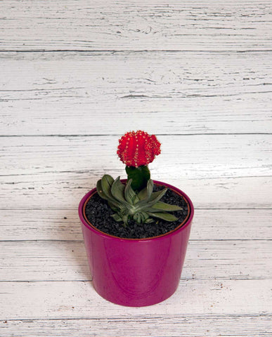 Cactus with Ceramic Pot