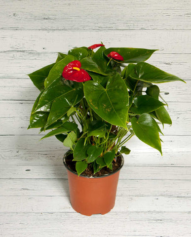 Anthurium - Red