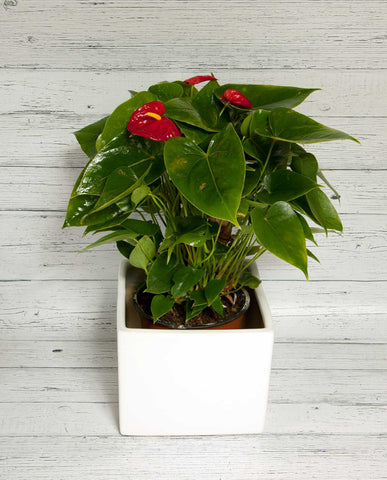 Anthurium with Ceramic Pot
