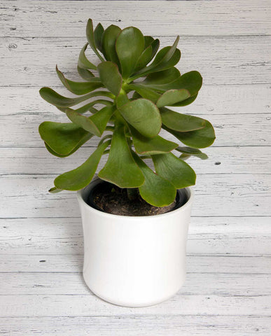 Succulent - Large with Ceramic Pot