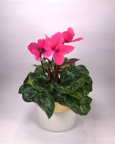 Cyclamen with Ceramic Pot