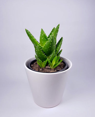 Succulent - Small with Ceramic Pot