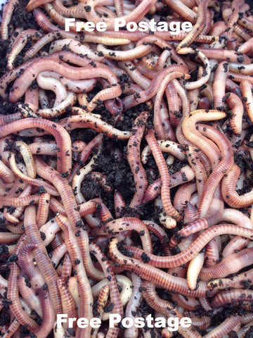 Tiger Worm - Red Californian Earth Worm - Eisenia Fetida - Earthworm - 150 gram