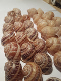 Shells mix - 25 shells Helix Pomatia and 25 shells Aspersa Muller