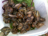 Live Snails ( Reptile Live Food ) - 30 medium size snails